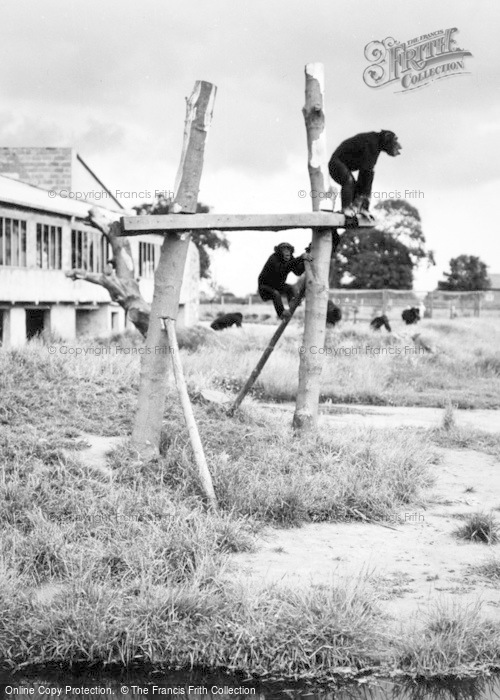 Photo of Chester Zoo, Chimpanzee Island c.1950