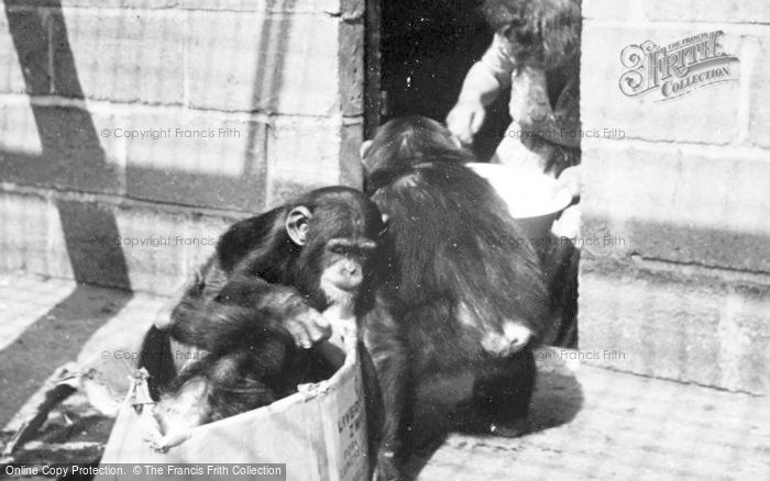 Photo of Chester Zoo, Chimpanzees At Play c.1950