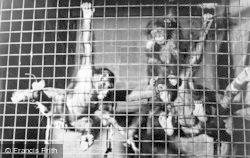 Chester Zoo, Chimpanzees c.1955