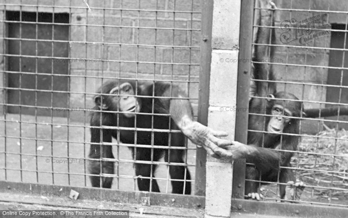Photo of Chester Zoo, Chimps Shaking Hands c.1955
