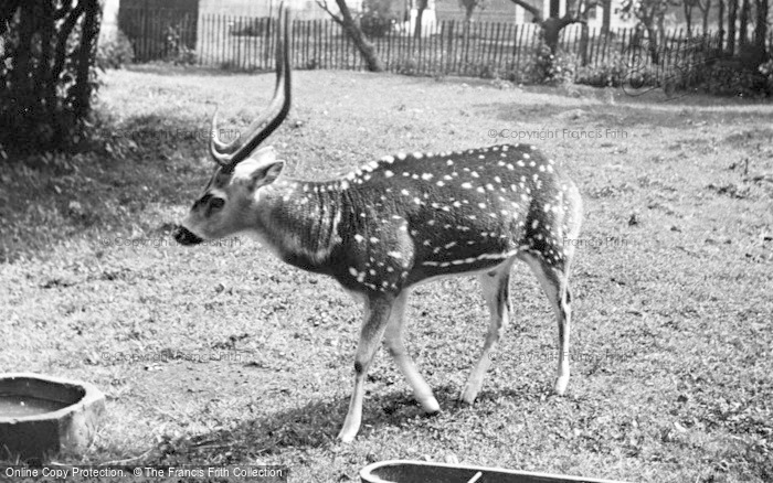 Photo of Chester Zoo, Chital Deer c.1955