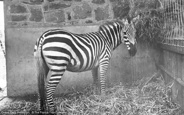 Photo of Chester Zoo, East African Zebra c.1955