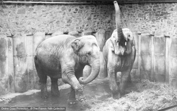 Photo of Chester Zoo, Elephants c.1955