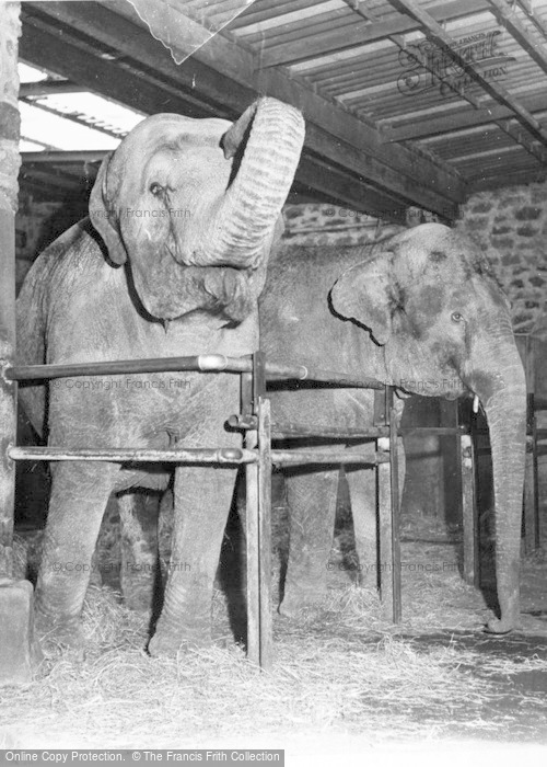 Photo of Chester Zoo, Elephants c.1960