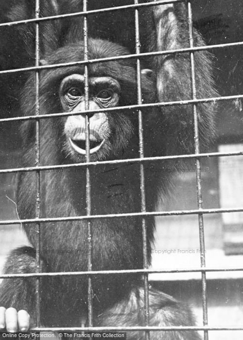 Photo of Chester Zoo, 'elmer' The Chimpanzee c.1950
