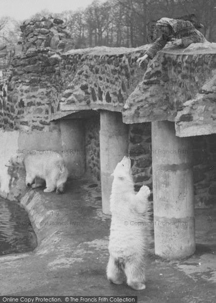Photo of Chester Zoo, Feeding The Polar Bears c.1950