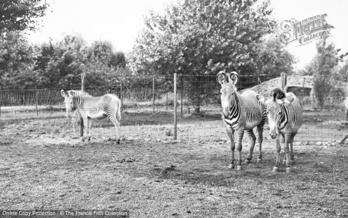 Photo of Chester Zoo, Grevy's Zebra 1957