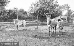 Chester Zoo, Grevy's Zebra 1957