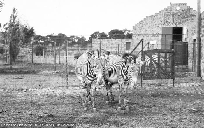 Photo of Chester Zoo, Grevy's Zebra c.1955