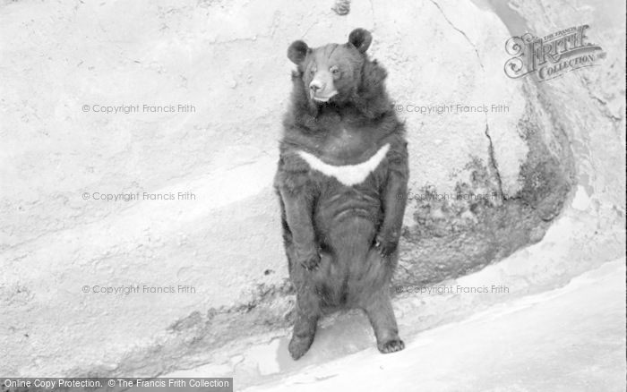 Photo of Chester Zoo, Himalayan Bear 1957
