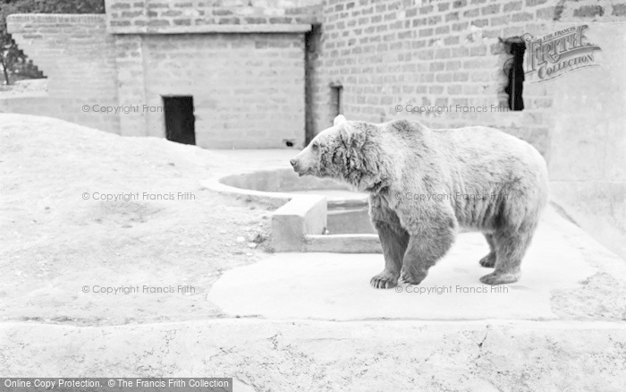 Photo of Chester Zoo, Himalayan Bear 1957