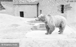 Chester Zoo, Himalayan Bear 1957