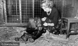 Jimmy The Orangutan 1957, Chester Zoo