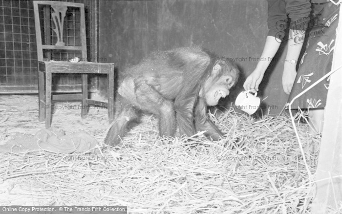 Photo of Chester Zoo, Jimmy The Orangutan 1957