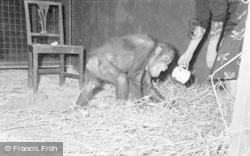 Chester Zoo, Jimmy The Orangutan 1957