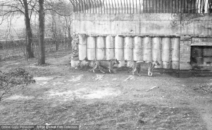 Photo of Chester Zoo, Lionesses c.1960