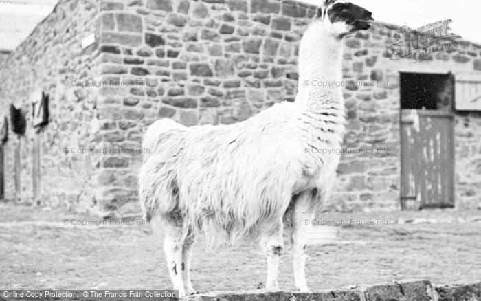 Photo of Chester Zoo, Llama 1957