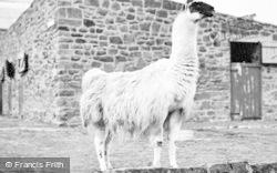 Chester Zoo, Llama 1957