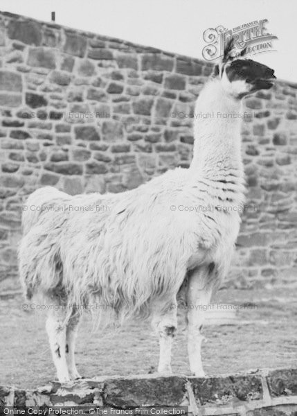 Photo of Chester Zoo, Llama 1957