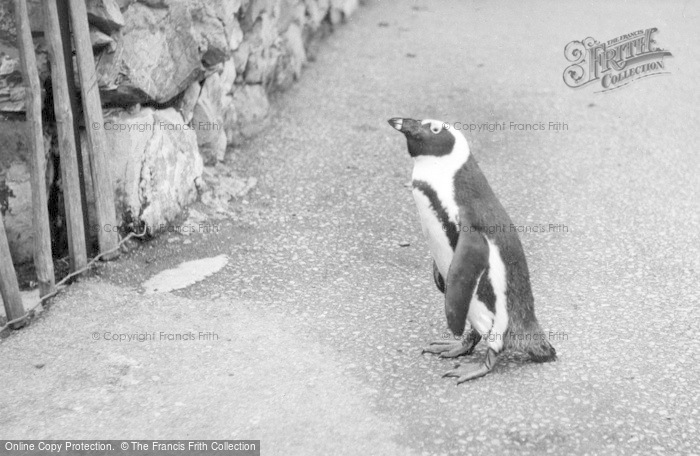 Photo of Chester Zoo, Oswald, The Penguin Takes A Walk c.1955