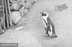 Chester Zoo, Oswald, The Penguin Takes A Walk c.1955