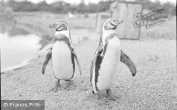 Chester Zoo, Penguins 1957