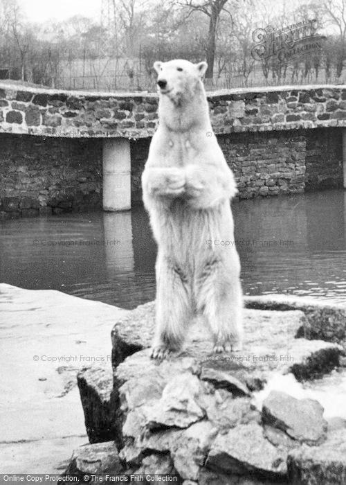 Photo of Chester Zoo, Polar Bear c.1951