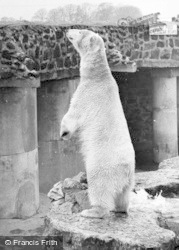 Chester Zoo, Polar Bear c.1955