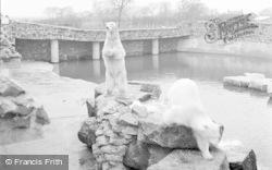 Chester Zoo, Polar Bears 1951