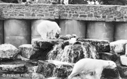 Chester Zoo, Polar Bears 1957