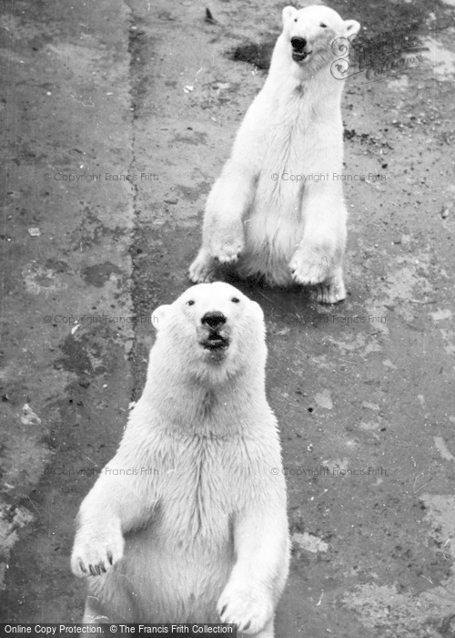 Photo of Chester Zoo, Polar Bears c.1950