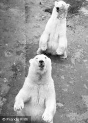 Chester Zoo, Polar Bears c.1950