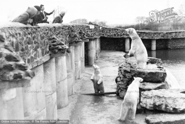 Photo of Chester Zoo, Polar Bears c.1955