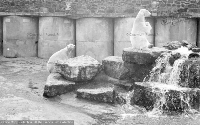 Photo of Chester Zoo, Polar Bears c.1955