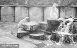 Chester Zoo, Polar Bears c.1955