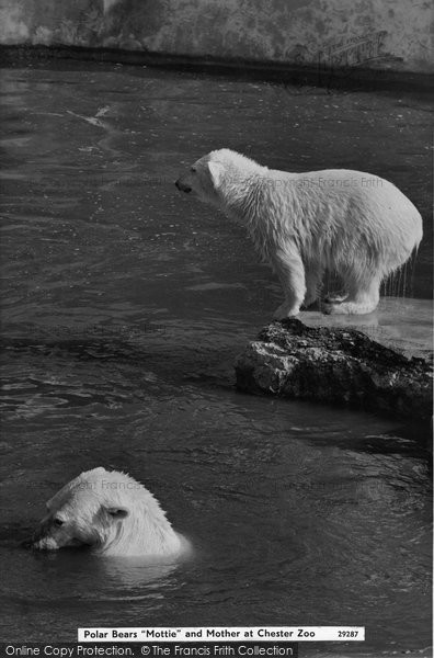 Chester Zoo, Polar Bears 'mottie' And Mother c.1960