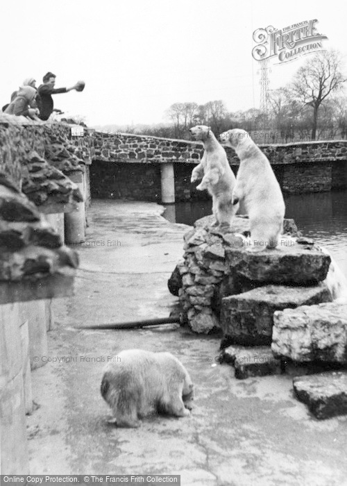Photo of Chester Zoo, Rack, Ruin And Rubble, The Polar Bears c.1955