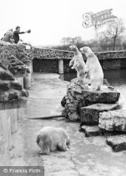 Chester Zoo, Rack, Ruin And Rubble, The Polar Bears c.1955