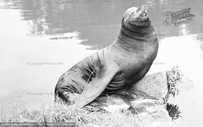 Photo of Chester Zoo, Sammy The Sea Lion 1957