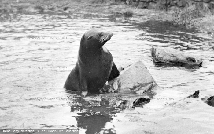 Photo of Chester Zoo, Sammy The Sea Lion c.1955