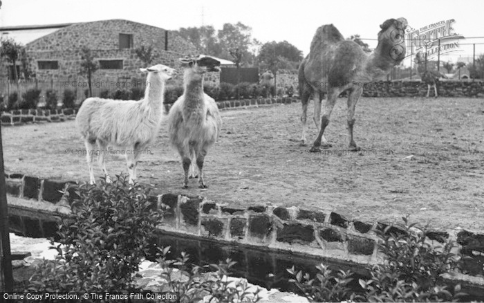 Photo of Chester Zoo, The Camel Enclosure c.1955