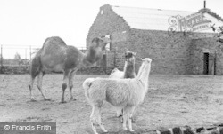 Chester Zoo, The Camel Enclosure c.1955