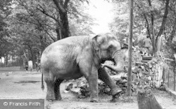 Chester Zoo, The Elephants c.1955