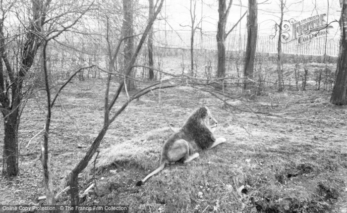 Photo of Chester Zoo, The Lion Enclosure c.1960