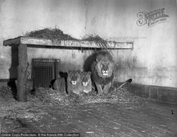 Photo of Chester Zoo, The Lions 1951