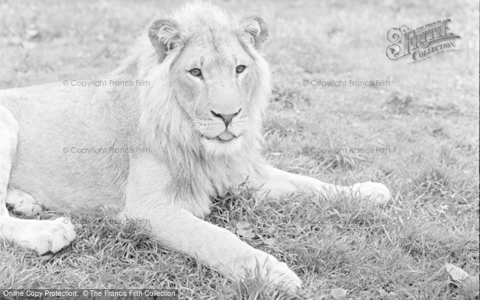 Photo of Chester Zoo, The Lions 1957