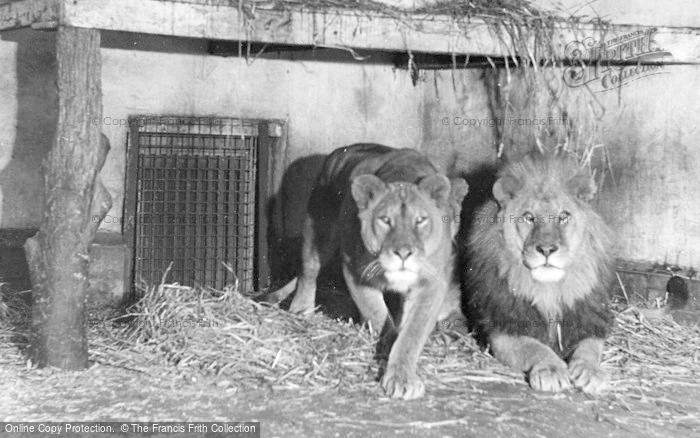 Photo of Chester Zoo, The Lions c.1950