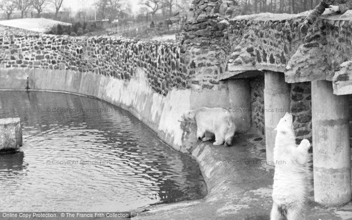 Photo of Chester Zoo, The Polar Bears c.1950