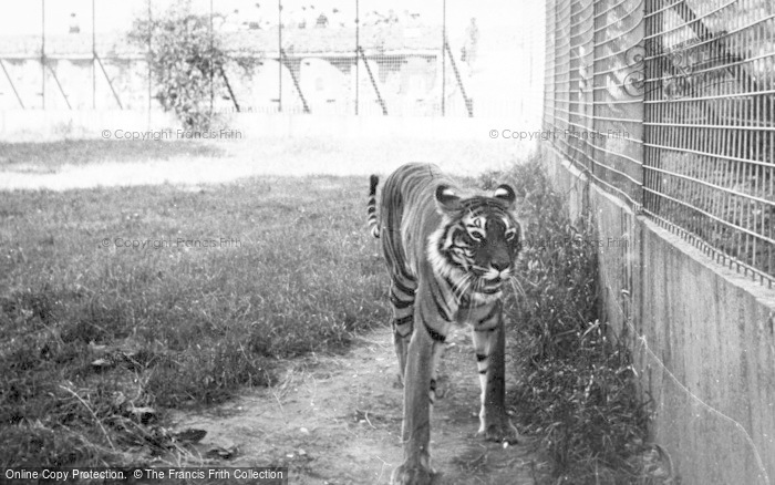 Photo of Chester Zoo, The Tiger c.1950