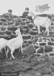 Chester Zoo, The White Goats Begging For Tit-Bits c.1950